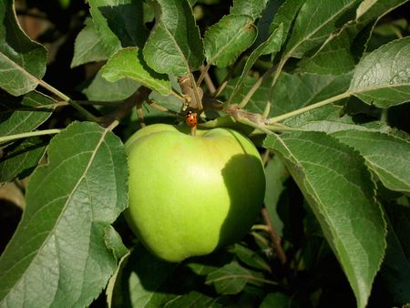 Green apple with a weevil on a branch with green leaves in the orchard.