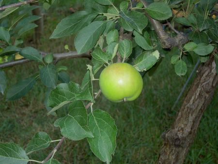 Green apple on branch with leaves in the orchard.