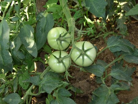 Three green tomatoes on a branch and leaves in the vegetable garden.