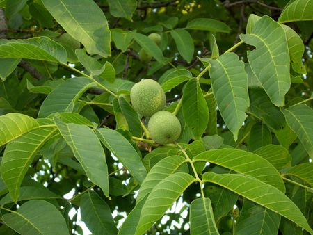 Green walnuts on branch with leaves.