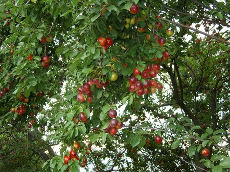 Coloured mellow wax cherries on branches with green leaves in the orchard.