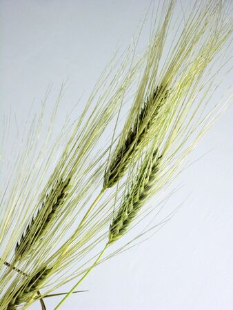 Yellow mellow wheat ears.