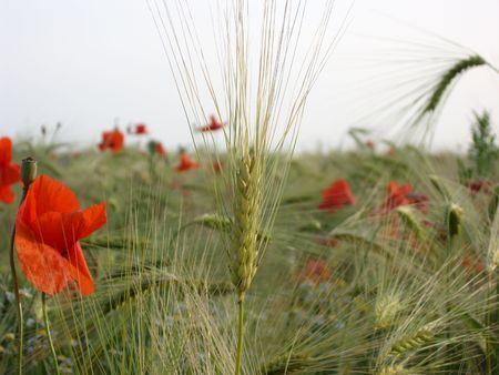 Wheat ears and wild poppy flowers in wheat field. photo