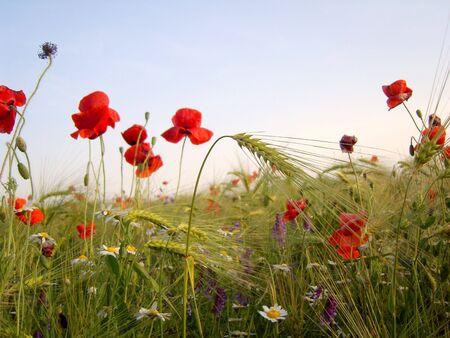 Wheat ears and wild poppy flowers in wheat field.