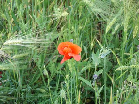 Wheat ears and wild poppy flower in wheat field. photo