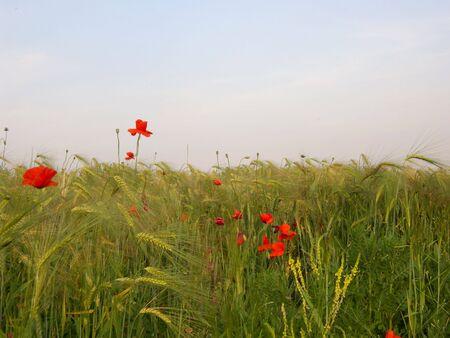 Wheat field with poppy flowers.