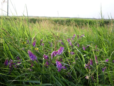 Lilac wild flowers in green grass. Stock Photo