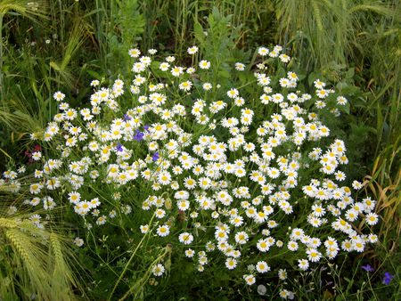 Camomile flowers in wheat field.