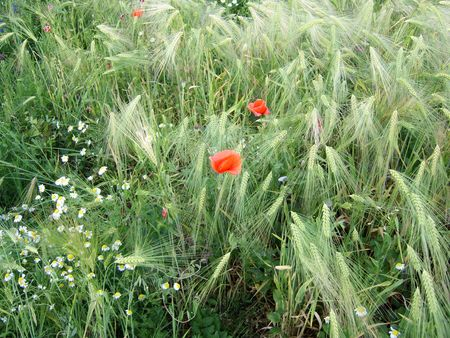 Wild flowers in wheat field. Poppy, camomile flowers. photo