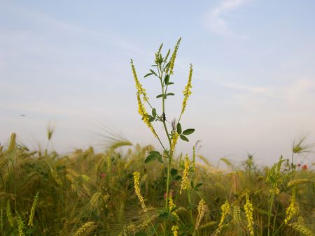 Yellow wild flower with a beetle in wheat field. Stock Photo