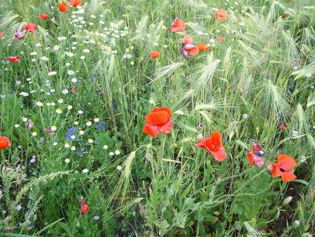 Coloured wild flowers in wheat field. Poppy, camomile, blue flowers.