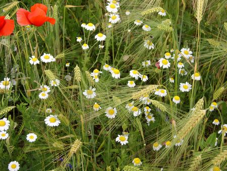 Wild flowers in wheat field. Poppy, camomile flowers. Stock Photo