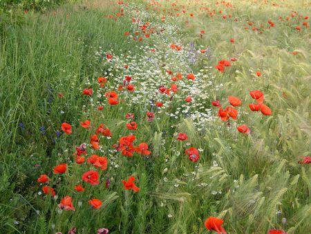 Wild flowers in wheat field. Poppy, camomile, blue flowers.