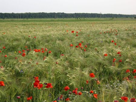 Wild poppy flowers in wheat field. photo