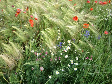 Coloured wild flowers in wheat field. Poppy, camomile, blue, mauve flowers.
