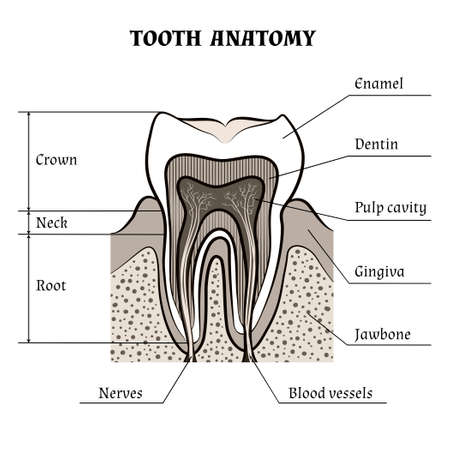 cementum: Illustration of tooth anatomy drawn in retro style. Isolated on white background