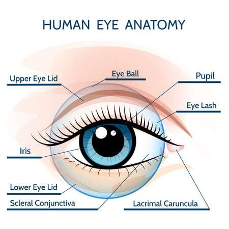 Ilustración de la anatomía del ojo humano. Sólo Fuente libre uso.