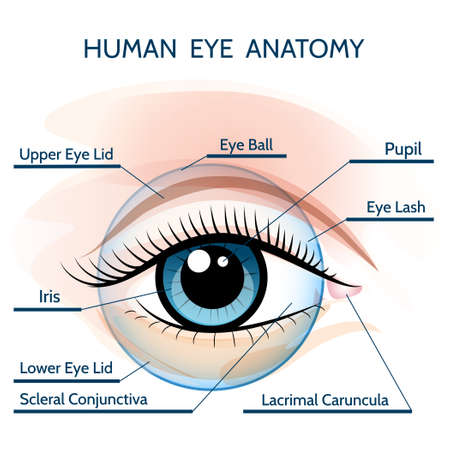 Human eye anatomy illustration. Only free font used. Stock Illustratie