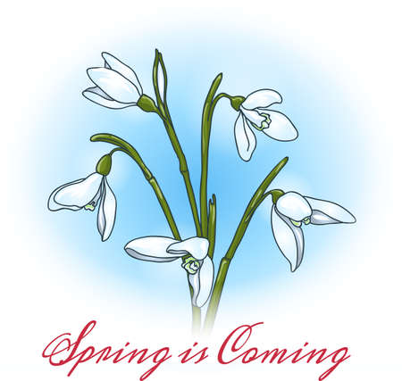 galanthus: First spring flowers snowdrops with lettering Spring is Coming. Free font used.