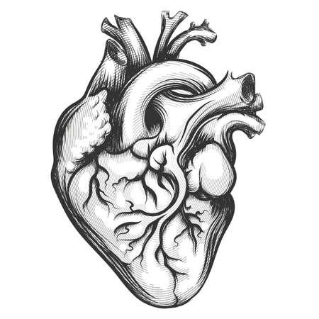 Menselijk hart getrokken in graveren stijl geïsoleerd op een witte achtergrond Vector Illustratie