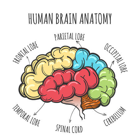 Main parts of the human brain. Human Brain in sketch style. Vector illustration Illustration