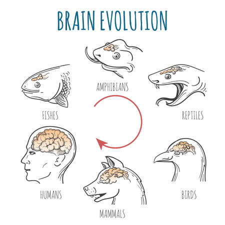 Brain Evolution from fishes to human. Heads of fish, amphibian, reptile, bird, dog and homo sapiens. vector illustration. Vettoriali