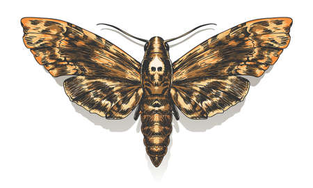 Hand Drawn Deaths Head Hawkmoth. Vector illustration.