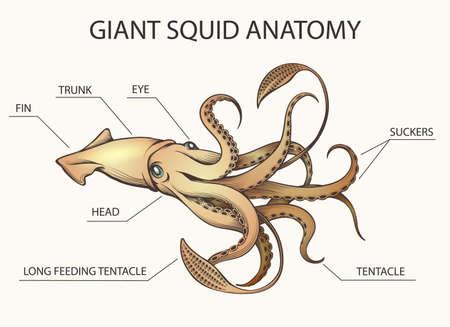 Ilustración colorida de la anatomía del calamar. Partes del cuerpo de calamar dibujadas en estilo retro. Ilustración vectorial