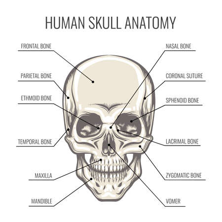 Structure of the Human Skull. Frontal detailed aspect of the skull. Vector illustration.