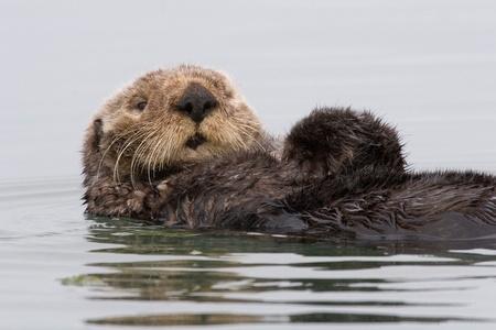 otter: Otter, sea otter, water