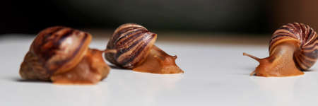 Wet snails are crawling on the white table. Garden edible snails. A popular type of snail in French cuisine.