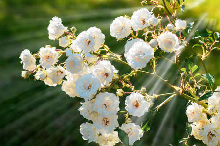 Lots of flower heads of a white rambler rose on a sunny summer day in back light and soft focus, green background