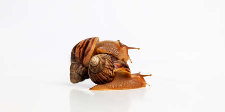 Snails on white background. One snail crawled onto another's shell. Food or pet. Stok Fotoğraf