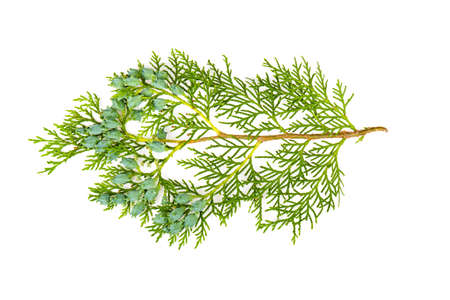Thuja branch on a white background Stock Photo