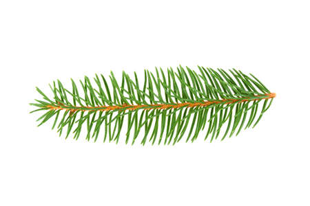twig pine on white background