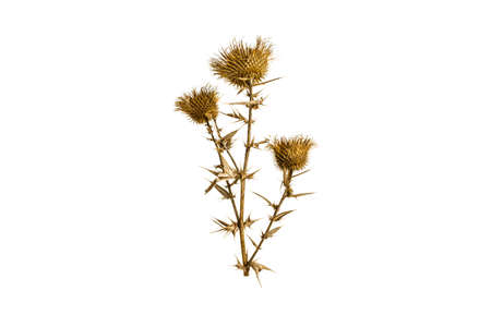 Dried milk thistle on a white background
