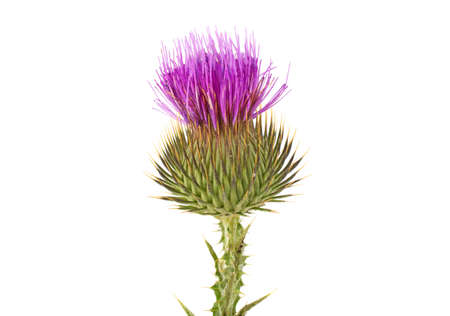 Thistle on a white background Archivio Fotografico