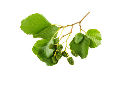 Alder leaves on white background Stock Photo