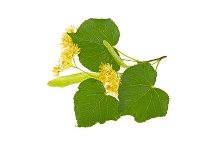Linden branch flower on white background