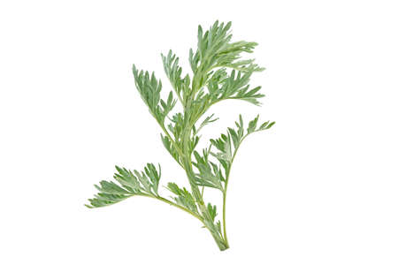 medicinal plant of wormwood on white background Stock Photo