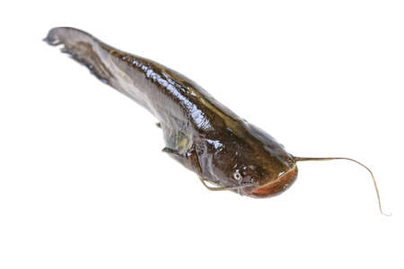 live catfish fish on white background Standard-Bild