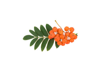 a sprig of mountain ash isolated on white background