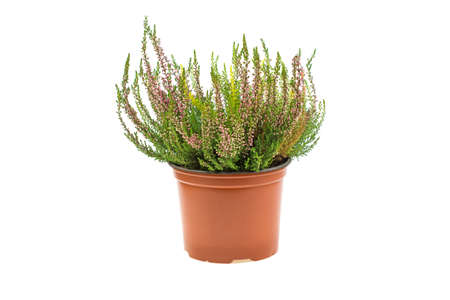 purple calluna vulgaris in plastic brown pot indoor on white background copy text space soft focus isolated