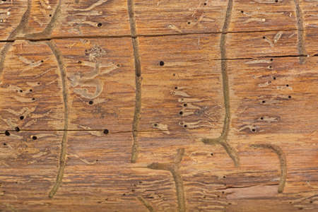 bark of bark beetle on wood 免版税图像