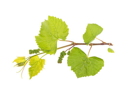 Vine and grape leaves on a white background, isolated.