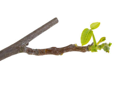 walnut branch with green leaves on a white background, isolated.