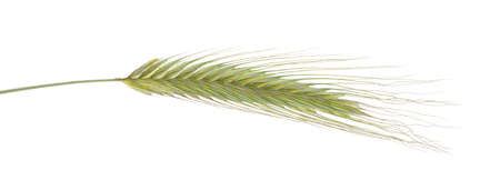 green spikelets on a white background, isolated