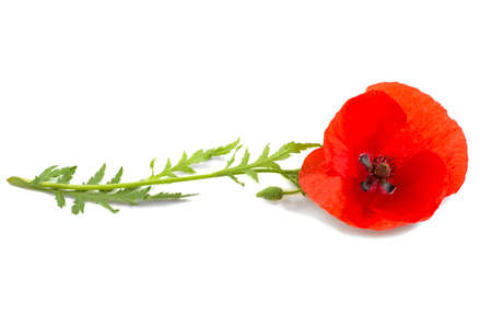 plant, poppy flower on a white background, isolated. 스톡 콘텐츠
