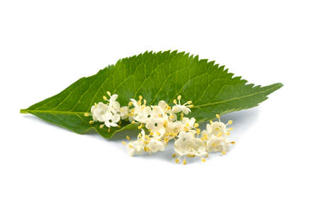 Elderberry flowers on a green leaf on a white background, isolated.