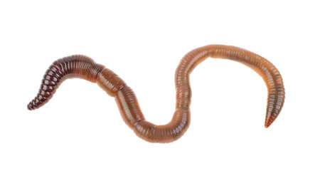 Earthworms on a white background, isolated.